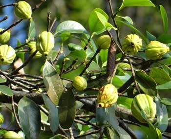 Fruit Garcinia Cambogia