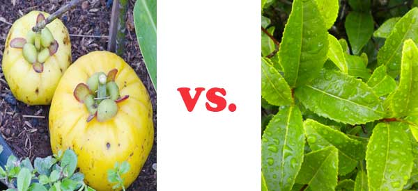 Garcinia Cambogia Vs. Green Tea Extract